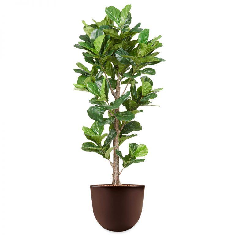 HTT - Kunstplant Ficus Lyrata in Eggy bruin H200 cm - kunstplantshop.nl
